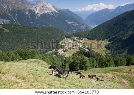 Herd of donkeys on pasture.Panorama of the Upper Engadine from Muottas Muragl with very steep trail - stock photo
