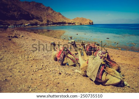 Herd of dromedary camels on the shore of the Red Sea.  Egypt. Filtered image:cross processed lomo effect.   - stock photo