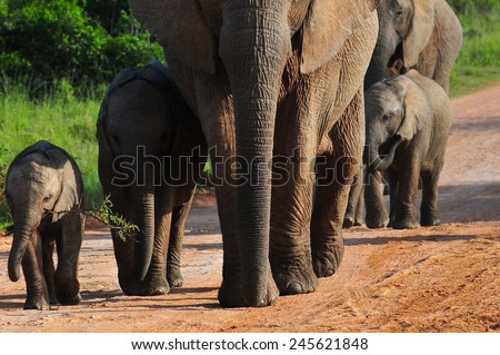 Herd of Elephant walking - stock photo