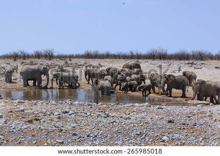 Herd of Elephant with Zebras in background at a waterhole in Etosha National Park - stock photo