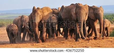 Herd of elephants - stock photo