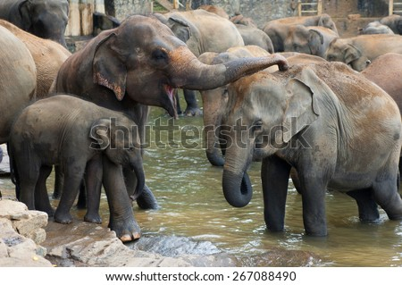 Herd of elephants are seen in the water spray each other. The orphanage is the big tourist attraction and home for eighty eight elephants. Baby elephants are walking in the water with their mother. - stock photo