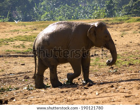 Herd of elephants at the orphanage in Sri Lanka