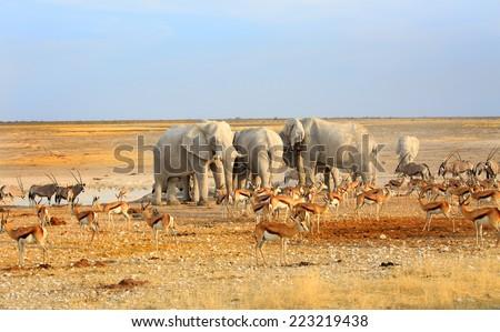 Herd of Elephants drinking from a waterhole in Etosha National Park - stock photo