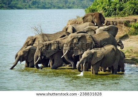 Herd of elephants drinking water in Queen Elizabeth National Park, Uganda