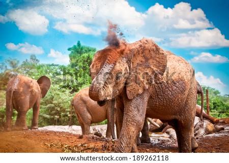 Herd of elephants enjoying the mud in Kenya. Afrika. - stock photo