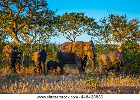 Herd of elephants going to drink. Kruger National Park, South Africa. Sunset - stock photo