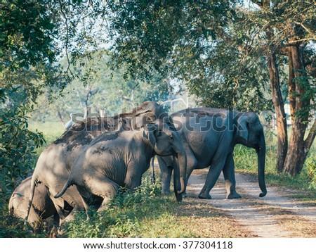 Herd of elephants in Kaziranga India - stock photo