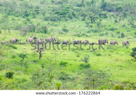 Herd of elephants in the brush in Umfolozi Game Reserve, South Africa, established in 1897 - stock photo