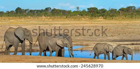 Herd of elephants next to a watering hole in Zimbabwe - stock photo