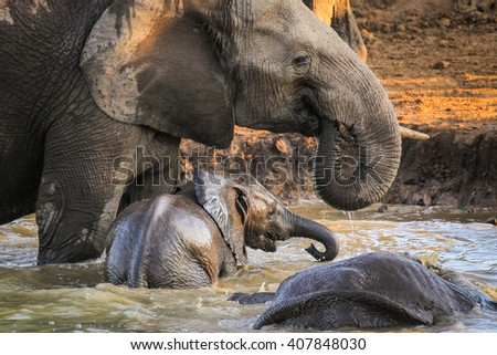 Herd of elephants playing in dam, Kruger National Park - stock photo