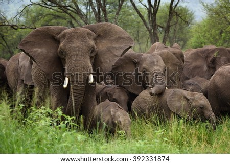 Herd of Elephants , Serengeti natural park, Tanzania - stock photo