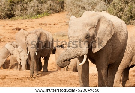 Herd of elephants socialising around a watering hole in the Addo Elephant Park in the Eastern Cape South Africa.
