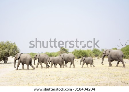 Herd of Elephants Walking through a very dry Chobe National Park, Botswana, Southern Africa - stock photo
