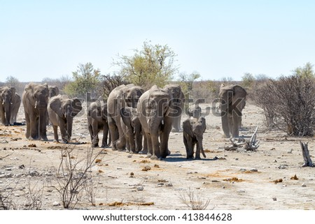 Herd of elephants walking towards a waterhole in a dry environment in Etosha National Park, Namibia