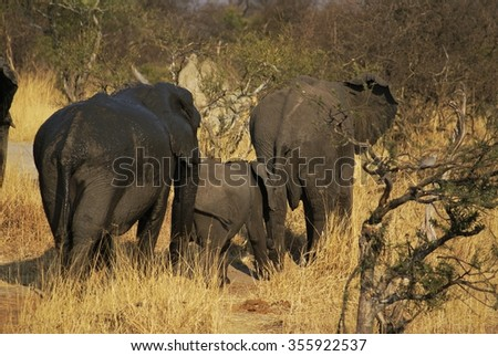Herd of elephants with calf walking away from the camera, in dry grass
