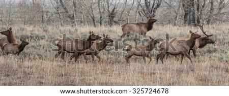 Herd of Elk - stock photo