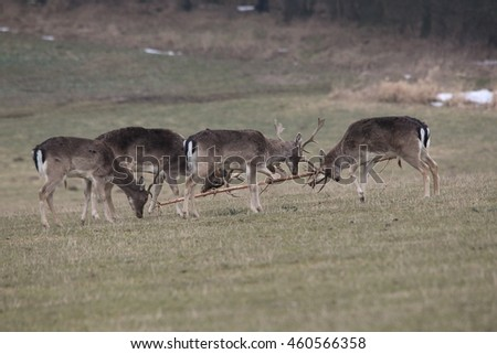 Herd of fallow deers in rut fighting with a tree on a grassy meadow. Hinds are watching from afar.