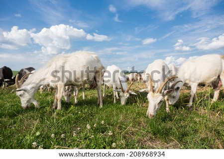 Herd of farm goats  on a pasture  - stock photo