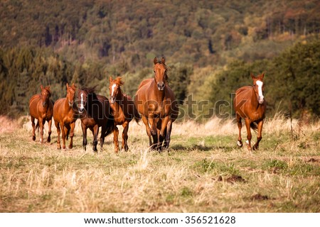 Herd of free wild horses galloping on a meadow - stock photo