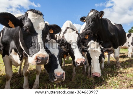 Herd of friendly black and white  Holstein dairy cows or cattle pushing their heads close to the camera  as they stand in a farm pasture