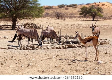 herd of Gemsbok, Oryx gazella and springbok on waterhole,dominant Gemsbok antelope in the park, Kgalagadi, South Africa - stock photo