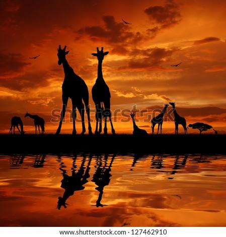 herd of giraffes in the sunset - stock photo