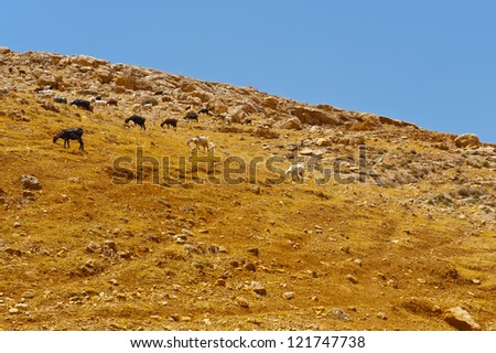 Herd of Goats Grazing in the Mountains of Samaria, Israel - stock photo
