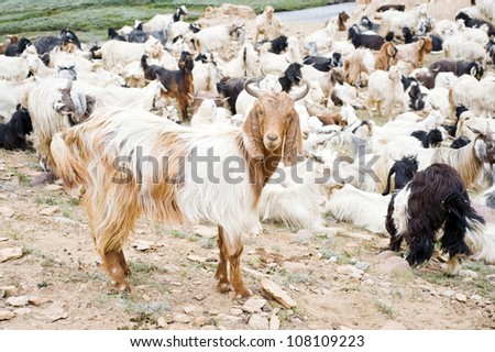 herd of goats in mountain