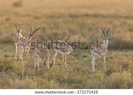 Herd of Grant's Gazelle, Ndutu, Serengeti, Tanzania - stock photo