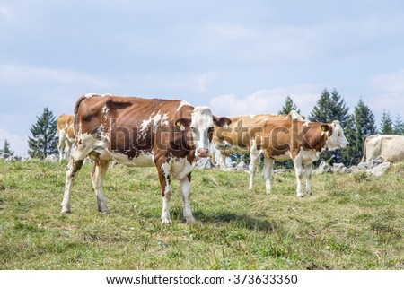 Herd of grazing on alp pasture cows with a cow looking at camera - stock photo