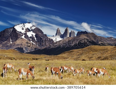 Herd of guanaco in Torres del Paine National Park, Patagonia, Chile - stock photo