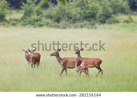 Herd of hinds with young fawn walking and grazing on spring meadow - stock photo
