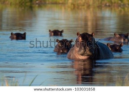 herd of hippopotamus - stock photo