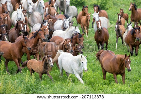 Herd of horses and foals running in summer - stock photo