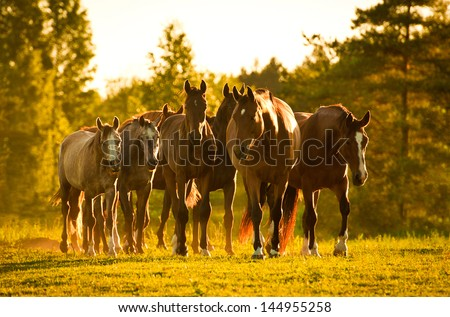 Herd of horses at sunset - stock photo