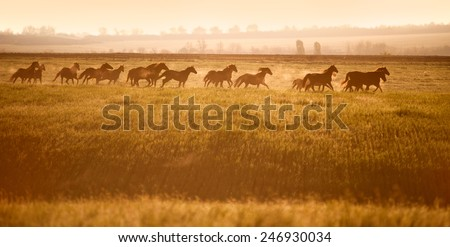 Herd of horses gallop across an open field in the sunshine. Horses walk in freedom. Mustangs. - stock photo