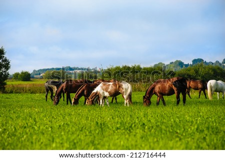 herd of horses grazing in a meadow - stock photo