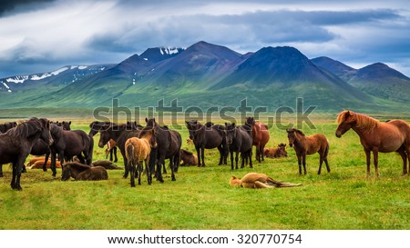 Herd of horses in the mountains in Iceland - stock photo