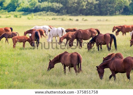 Herd of horses on field in summer - stock photo
