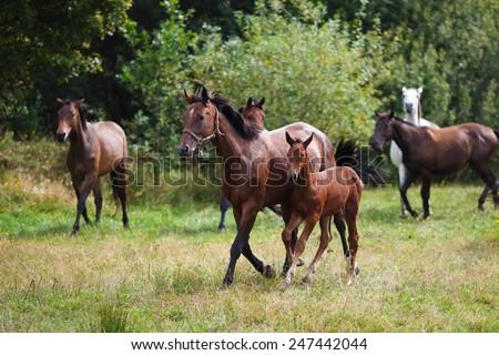 Herd of horses running on the green field - stock photo