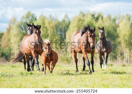Herd of horses running on the pasture in summer - stock photo