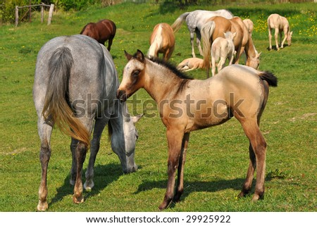 herd of horses with beautiful foals - stock photo