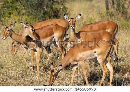 Herd of impalas (Aepyceros melampus) in Serengeti National Park, Tanzania - stock photo