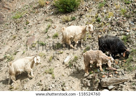 Herd of kashmir (pashmina) goats from Indian highland farm in Ladakh - stock photo