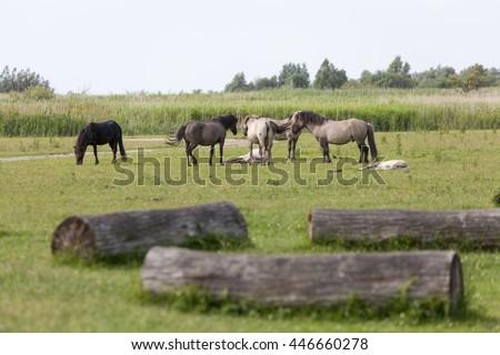 herd of konik horses in the Oostvaardersplassen, netherlands - stock photo