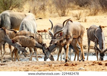 herd of Kudu drinking from waterhole, Etosha national Park, Ombika, Kunene, Namibia. True wildlife photography - stock photo