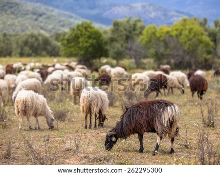 Herd of long haired sheep grazing in dehesa like organic olive grove on Lesbos island, Greece - stock photo