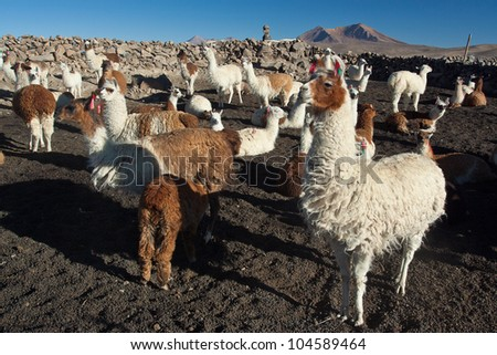 Herd of many andean lamas - stock photo