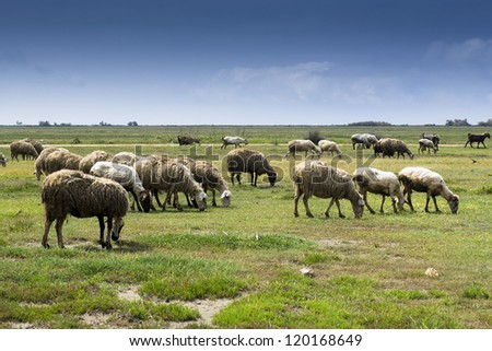 Herd of many sheep in green countryside under blue sky, on shinny day.